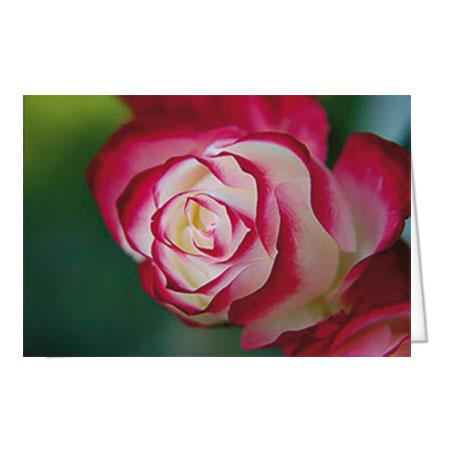 "Motiv 28 ""Rot-weiße Rose"""